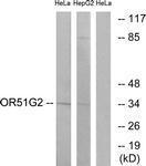 GTX87703 - Olfactory receptor 51G2