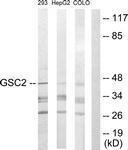 GTX87710 - Homeobox protein goosecoid-2 / GSC2