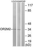 GTX87720 - Olfactory receptor 2M2