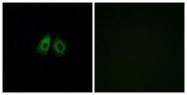 GTX87728 - Olfactory receptor 13C3