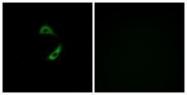 GTX87731 - Olfactory receptor 10G9