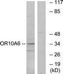 GTX87734 - Olfactory receptor 10A6