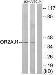 GTX87735 - Olfactory receptor 2AJ1