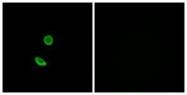 GTX87739 - Olfactory receptor 8H2