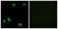 GTX87740 - Olfactory receptor 5L1