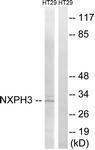 GTX87745 - Neurexophilin-3