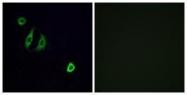 GTX87747 - Olfactory receptor 4F6