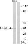 GTX87754 - Olfactory receptor 56B4