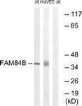 GTX87774 - FAM84B