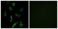 GTX87775 - Olfactory receptor 5B3