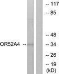 GTX87794 - Olfactory receptor 52A4