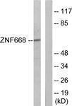 GTX87809 - ZNF668