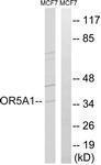 GTX87810 - Olfactory receptor 5A1