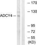 GTX87838 - Adenylate cyclase type 4