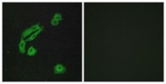 GTX87901 - Olfactory receptor 4C13