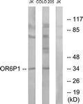GTX87910 - Olfactory receptor 6P1