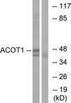 GTX87911 - ACOT1 / CTE1