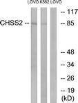 GTX87921 - Chondroitin sulfate synthase 2