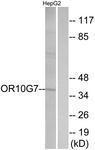 GTX87934 - Olfactory receptor 10G7