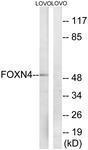 GTX87947 - FOXN4