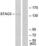GTX87952 - STAG3 / Stromal antigen 3