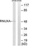 GTX87958 - PHAX / RNUXA
