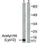 GTX88003 - Histone H4