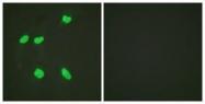 GTX88004 - Histone H4