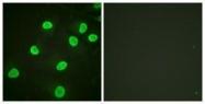 GTX88005 - Histone H4