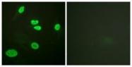 GTX88007 - Histone H3.1