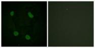 GTX88008 - Histone H3.1
