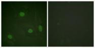 GTX88017 - Histone H3.1