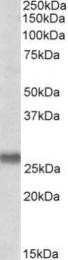 GTX88021 - SNAP23