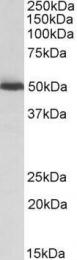GTX88073 - ALDH2