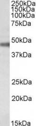 GTX88074 - ATP1B1