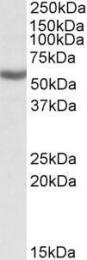 GTX88081 - ALDH3B1 / ALDH7