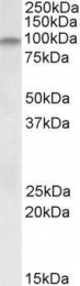 GTX88089 - Dystroglycan