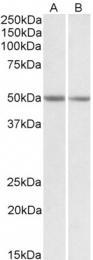 GTX88107 - Protein ALEX