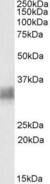 GTX88171 - CD317 / BST2