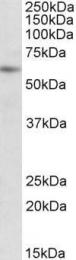 GTX88188 - PIAS2