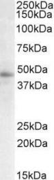 GTX88199 - STAP2 / BKS
