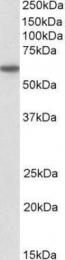 GTX88300 - CD80