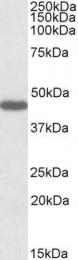 GTX88302 - GPR73b / Prokineticin receptor 2