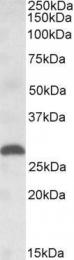 GTX88328 - Placenta growth factor / PGF