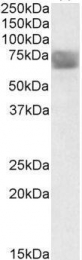 GTX88372 - Tripeptidyl-peptidase 1 (TPP1)