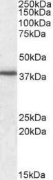 GTX88380 - CD321 / JAM1