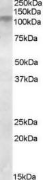 GTX88388 - DLG4 / PSD95