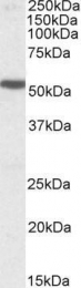 GTX88391 - Serotonin receptor 3B (HTR3B)