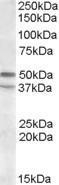 GTX88414 - Serotonin receptor 7 (HTR7)