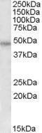 GTX88425 - Thrombin receptor / F2R
